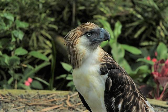 一羽のミンダナオイーグル