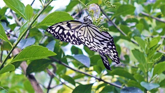 ボホール島の蝶々