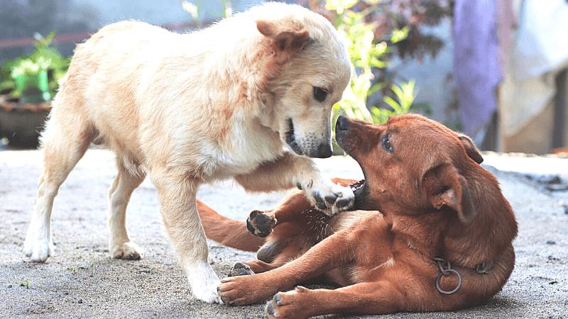 フィリピンの犬、アスピン